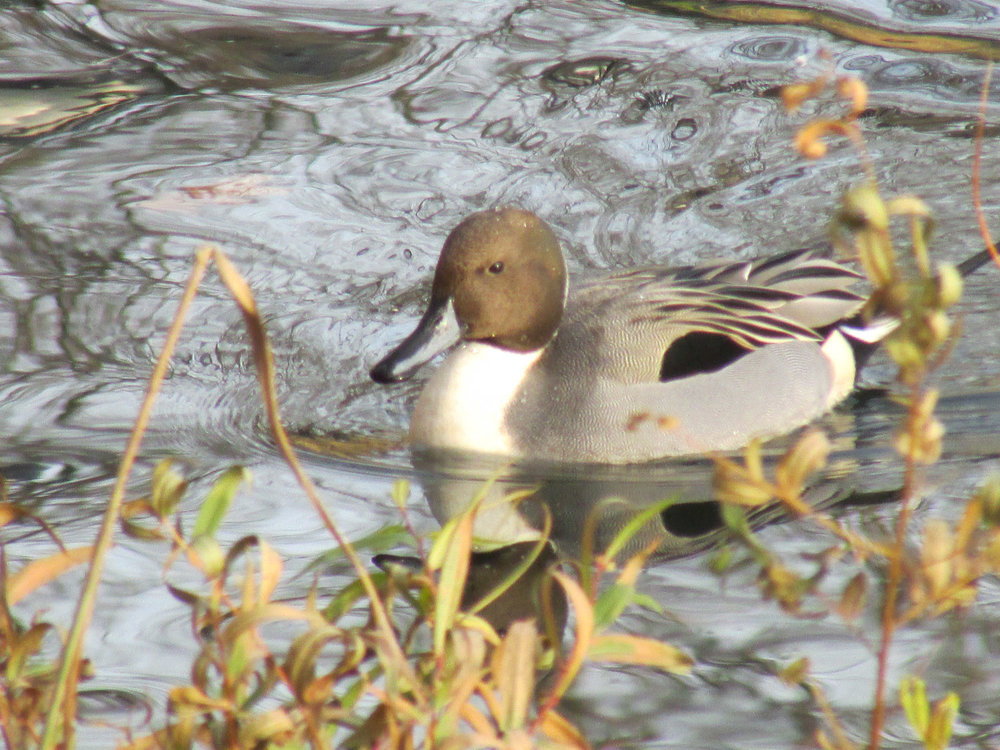 Male northern pintail at the Reservoir, Nov. 30, 2013