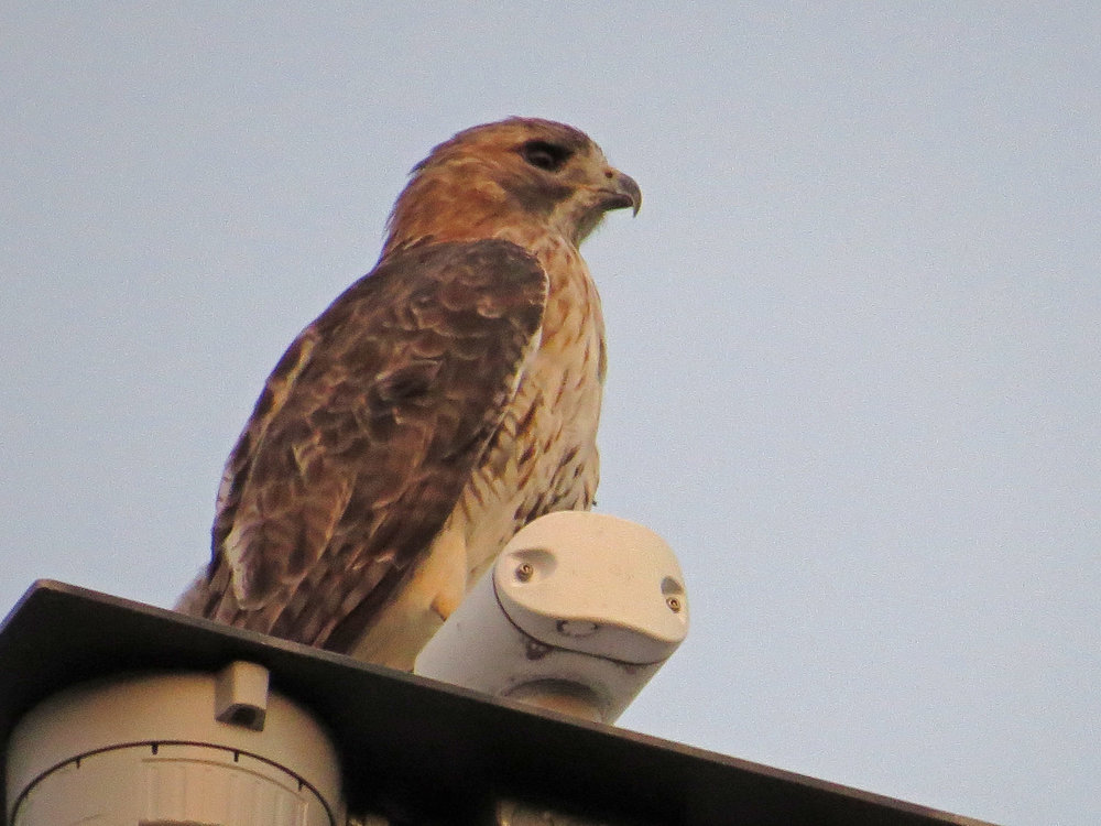A visiting young adult red-tailed hawk on the top of the Met Museum, Sept. 23, 2016