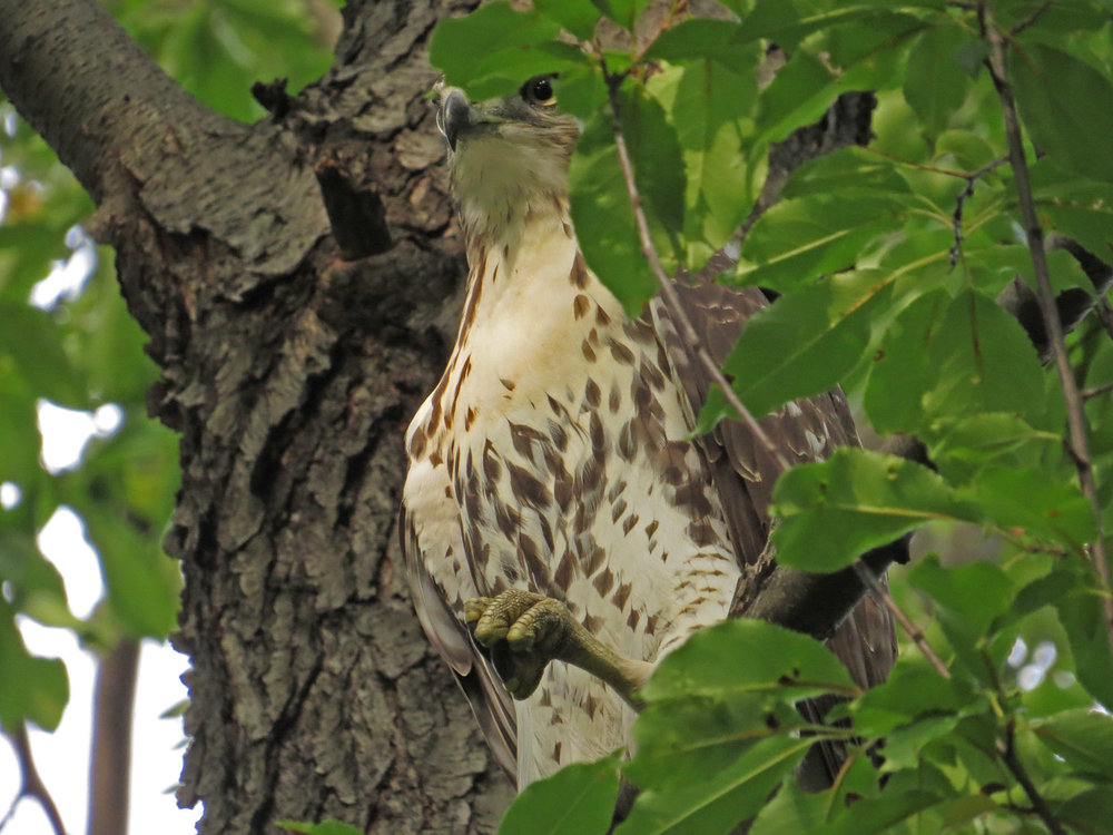 Young red-tailed hawk near Laupot Bridge, Oct. 3, 2016