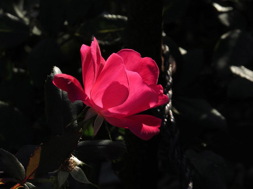 Rose Art Pool, Brooklyn Botanic Garden, Oct. 11, 2016