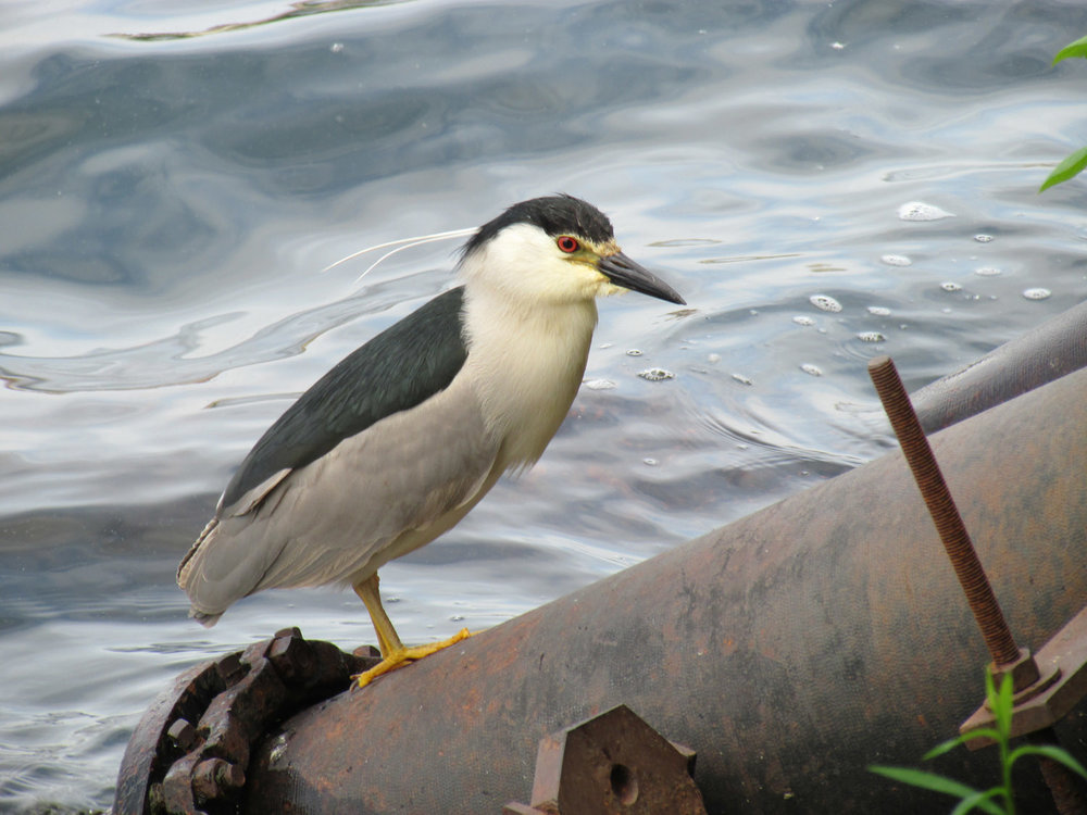 Black-crowned night heron at the Reservoir, June 11, 2014