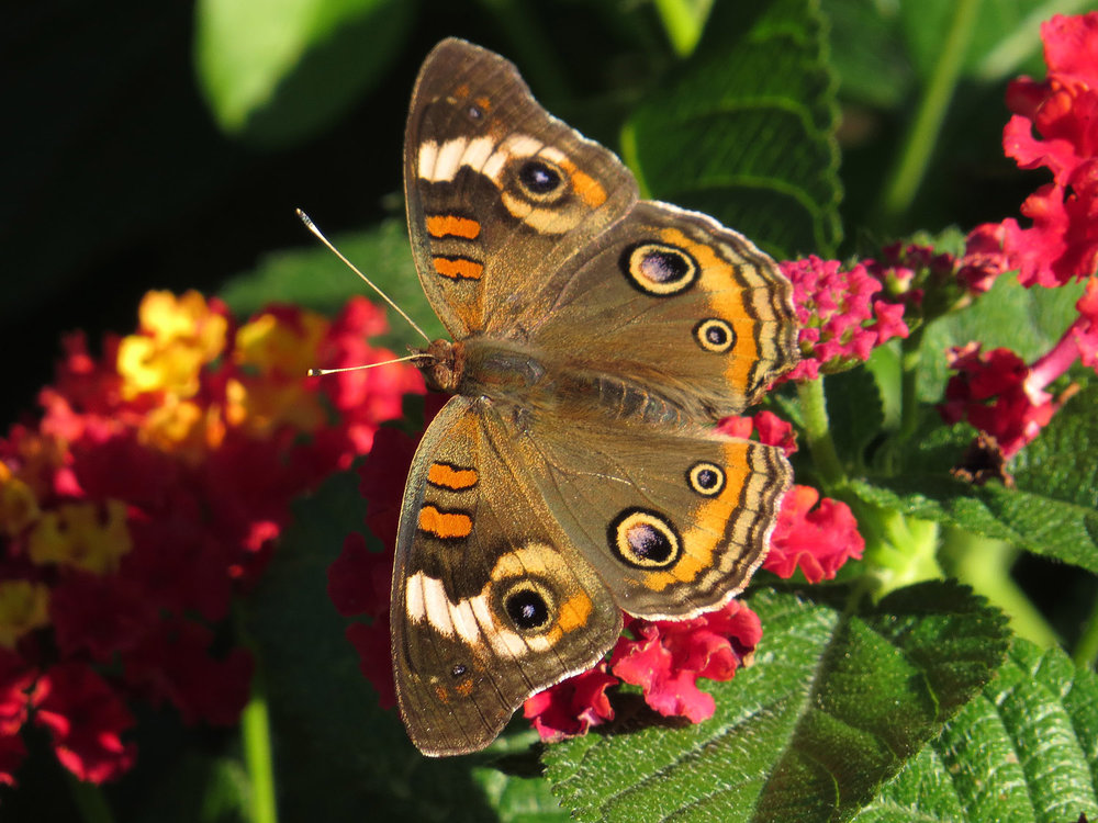 Common buckeye butterfly,   Conservatory Garden, Oct. 7, 2016