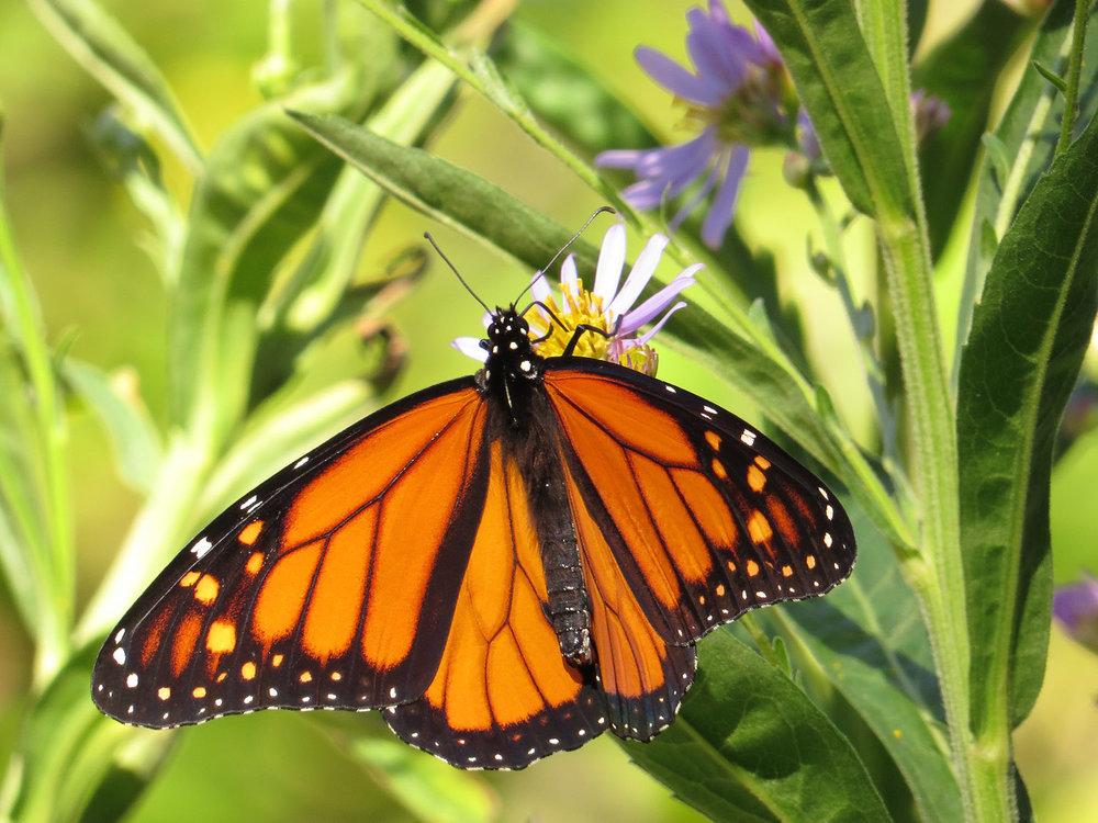 Monarch 1500 10-12-2016 067P.jpg