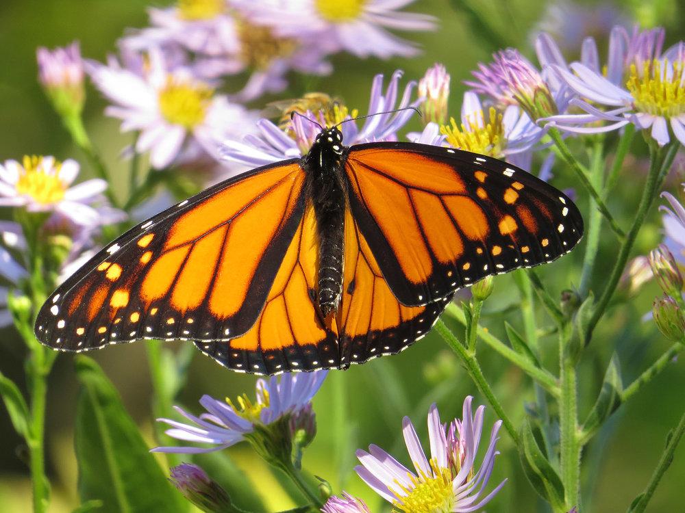Monarch butterfly   (Danaus plexippus), Shakespeare Garden, Oct. 12, 2016