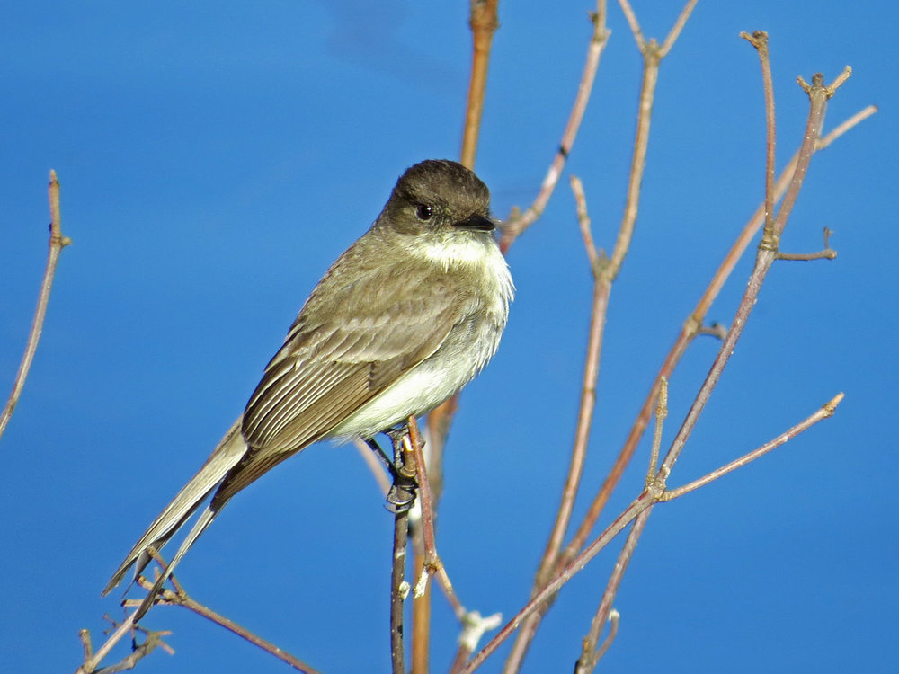 Eastern phoebe at Turtle Pond, March 29, 2015