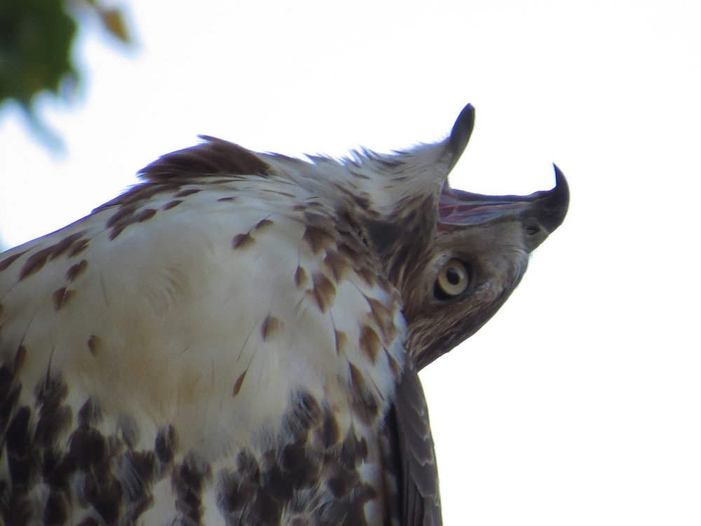 First-year red-tailed hawk over Terrace Drive, Oct. 23, 2016