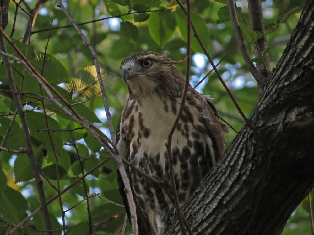 The second first-year hawk in the elm grove, Oct. 23, 2016