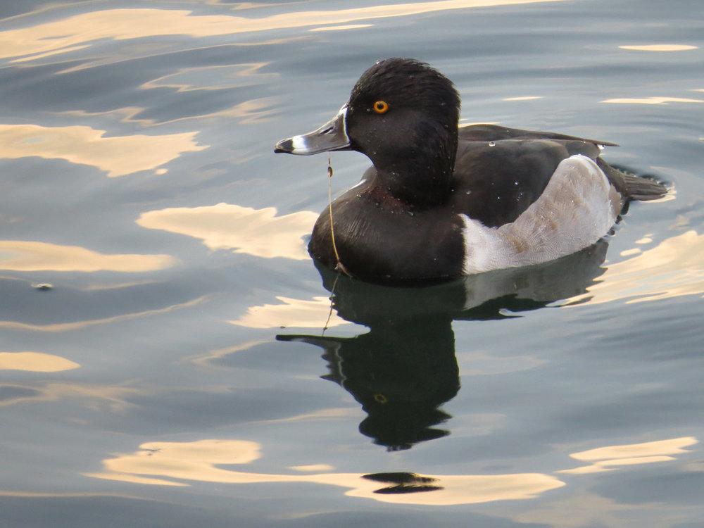 Ring-necked duck on the Reservoir, November 20, 2014