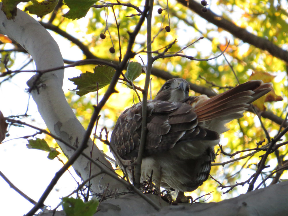 A young adult red-tailed hawk near Bethesda Fountain, Oct. 28, 2016