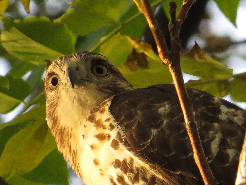 First-year red-tailed hawk near Laupot Bridge, Nov. 2, 2016