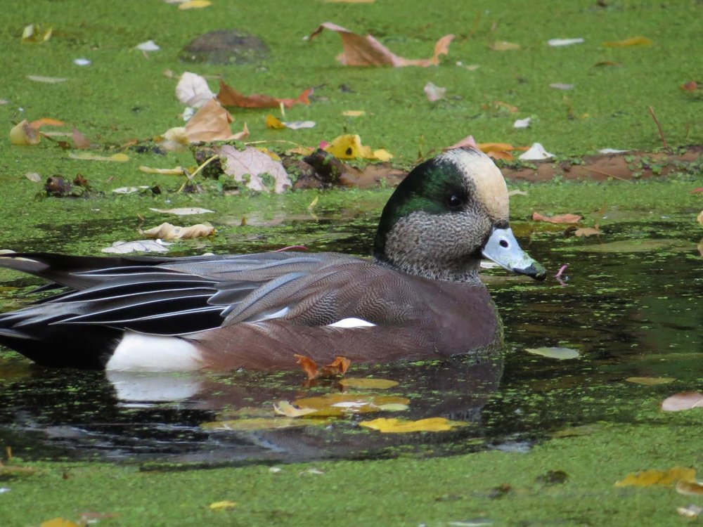 American wigeon, Prospect Park, November 6, 2016