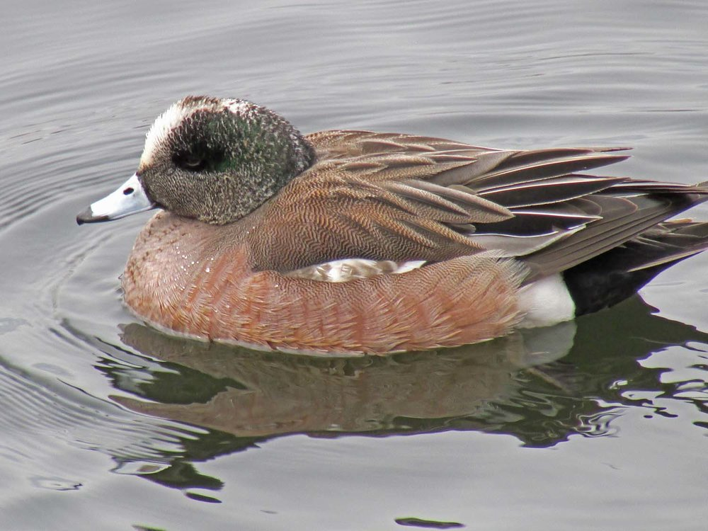 American wigeon, the Reservoir, Central Park, March 25, 2014
