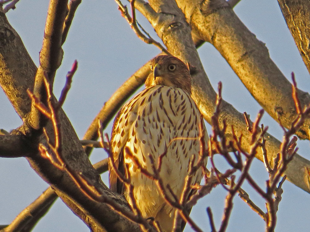 Cooper's hawk near the Boathouse, Nov. 10, 2016