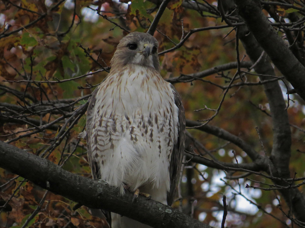 Pale Male, over East Drive across from the obelisk, Nov. 14, 2016