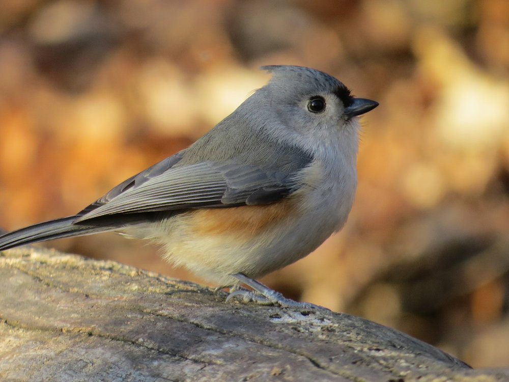 Tufted titmouse, Central Park, December 2014