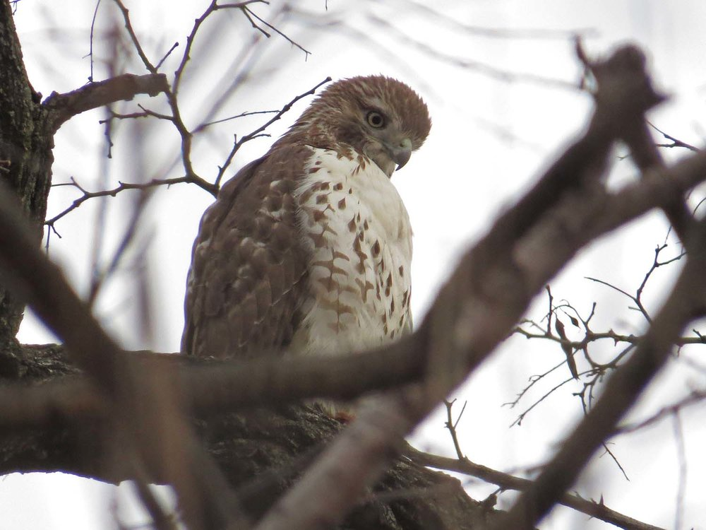 Young red-tailed hawk near the Boathouse, Central Park, Dec. 21, 2016