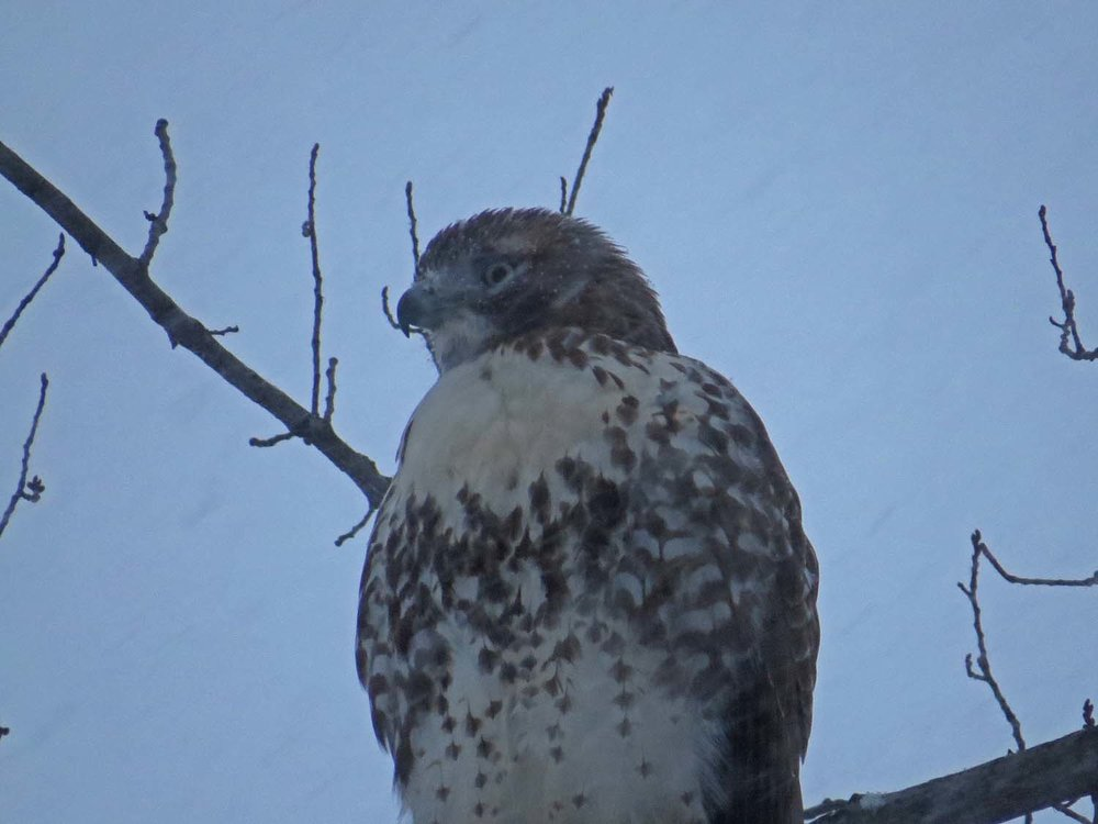 This young red-tailed hawk was probably seeing his first heavy snowfall, Jan. 7, 2017