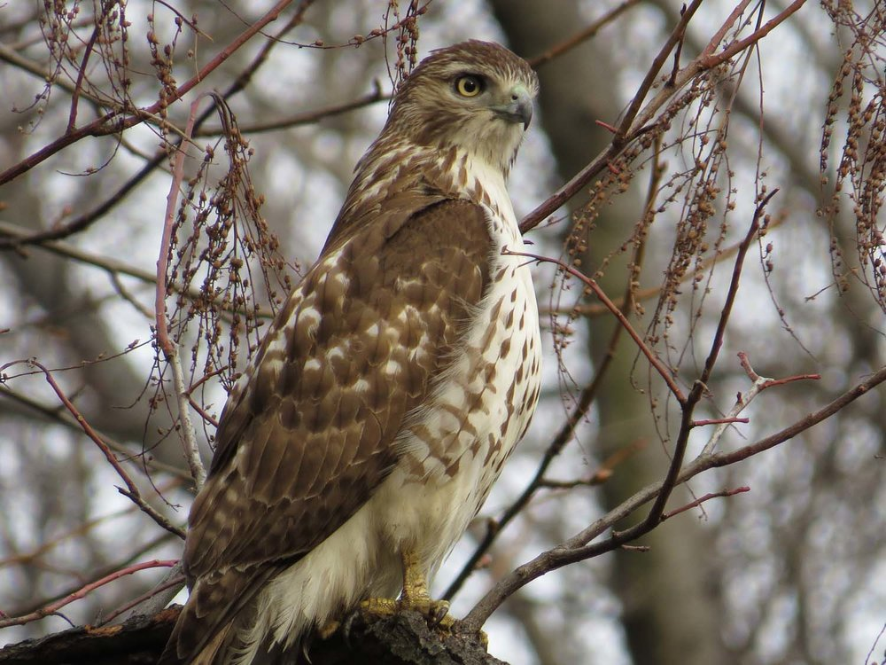 Young red-tailed hawk in the Ramble, Jan. 12, 2017