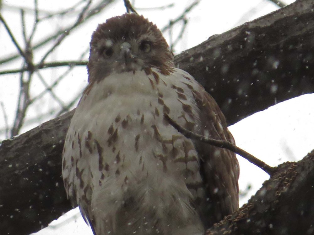First-year red-tailed hawk, Central Park, Jan. 14, 2017