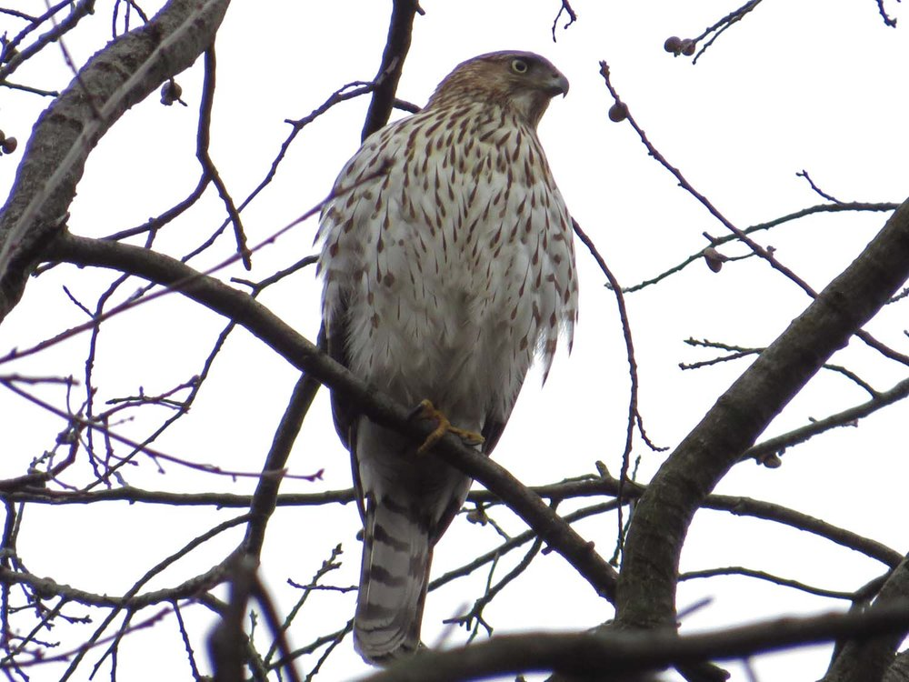 A Cooper's hawk perched over the Oven, Jan. 18, 2017
