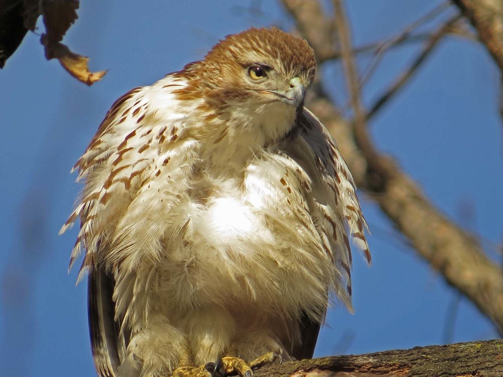 One of the first-year red-tailed hawks in Central Park, Jan. 29, 2017