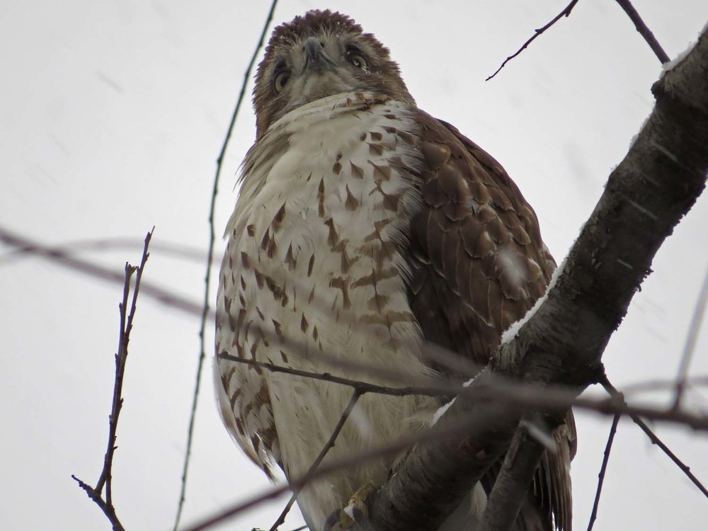 First-year red-tailed hawk, Jan. 31, 2017