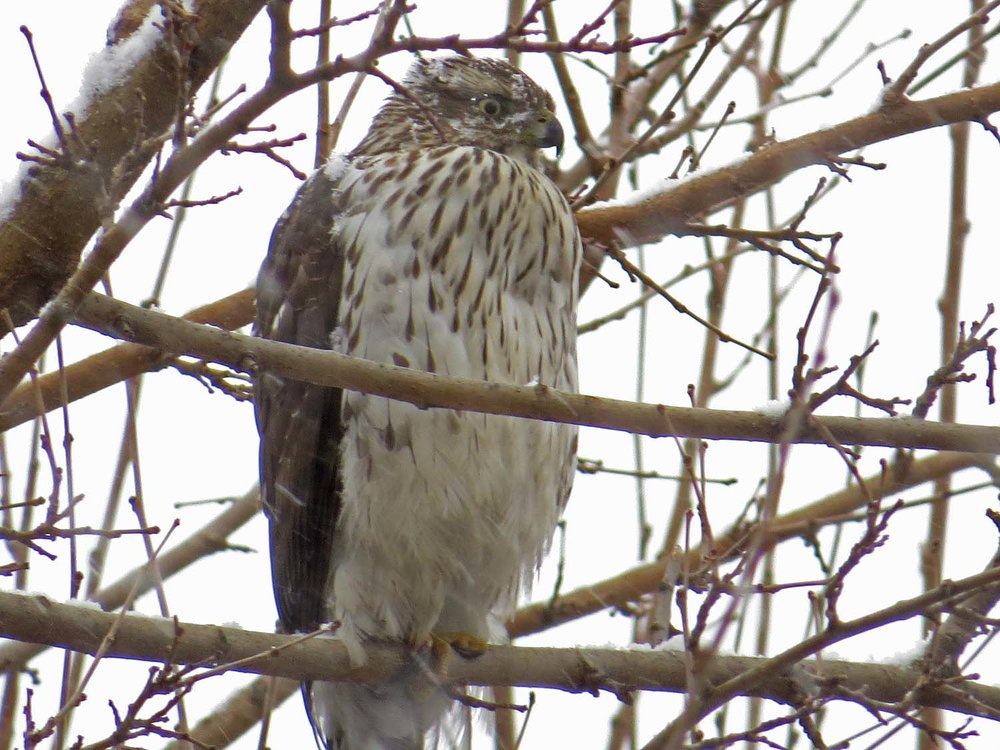 A Cooper's hawk over the Oven on Jan. 31, 2017. In Part 10 of the  Hawky New Year!  series.