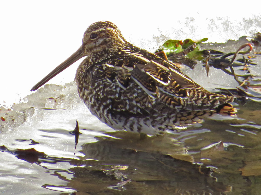 Wilson's snipe at Triplets Bridge, March 17, 2017
