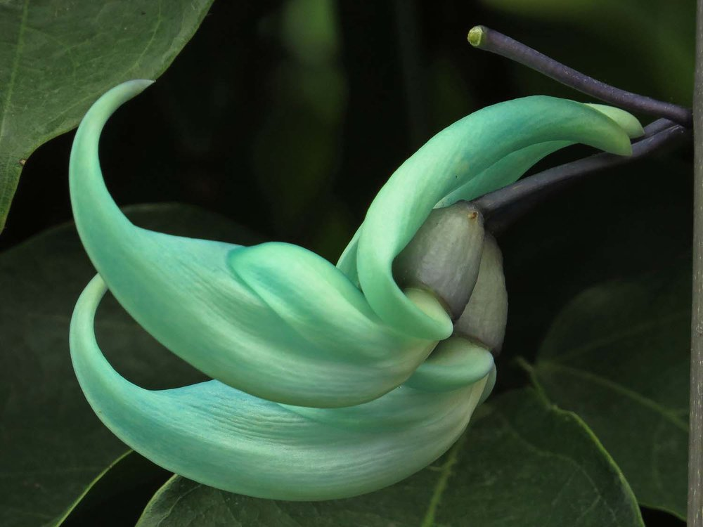 Jade vine in the aquatic room at the NYBG.