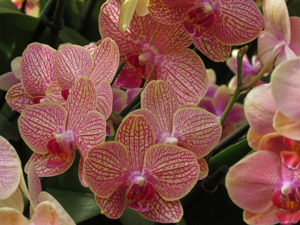 Orchid 1500 3-29-2017 226P.jpg