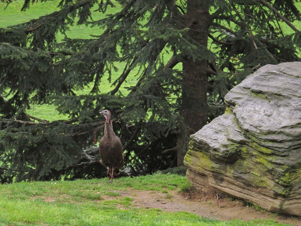 Wild turkey, Central Park, April 22, 2017