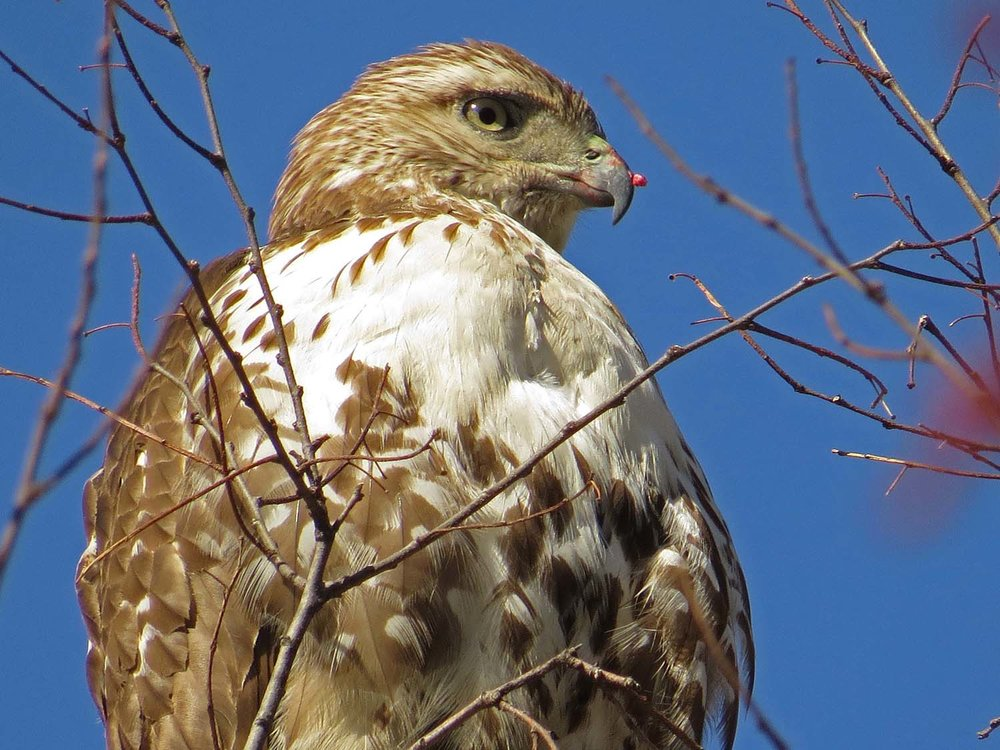 First-year red-tailed hawk, the Ramble, March 19