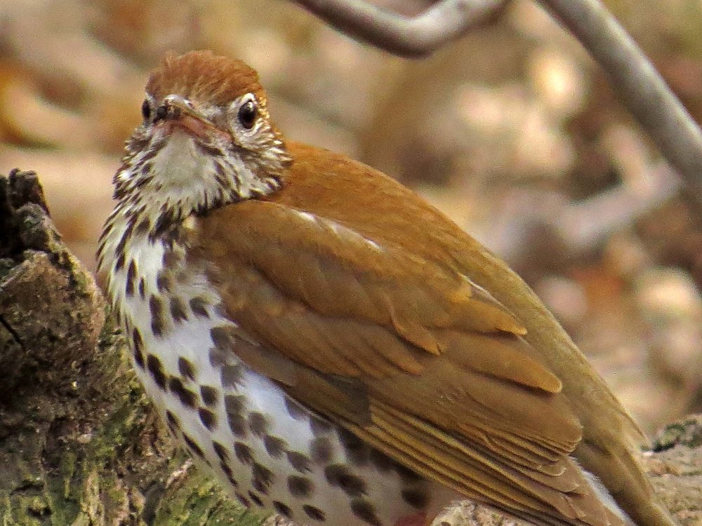 Wood Thrushes