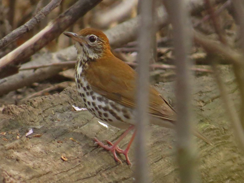 Wood thrush, the Ramble, April 23, 2017