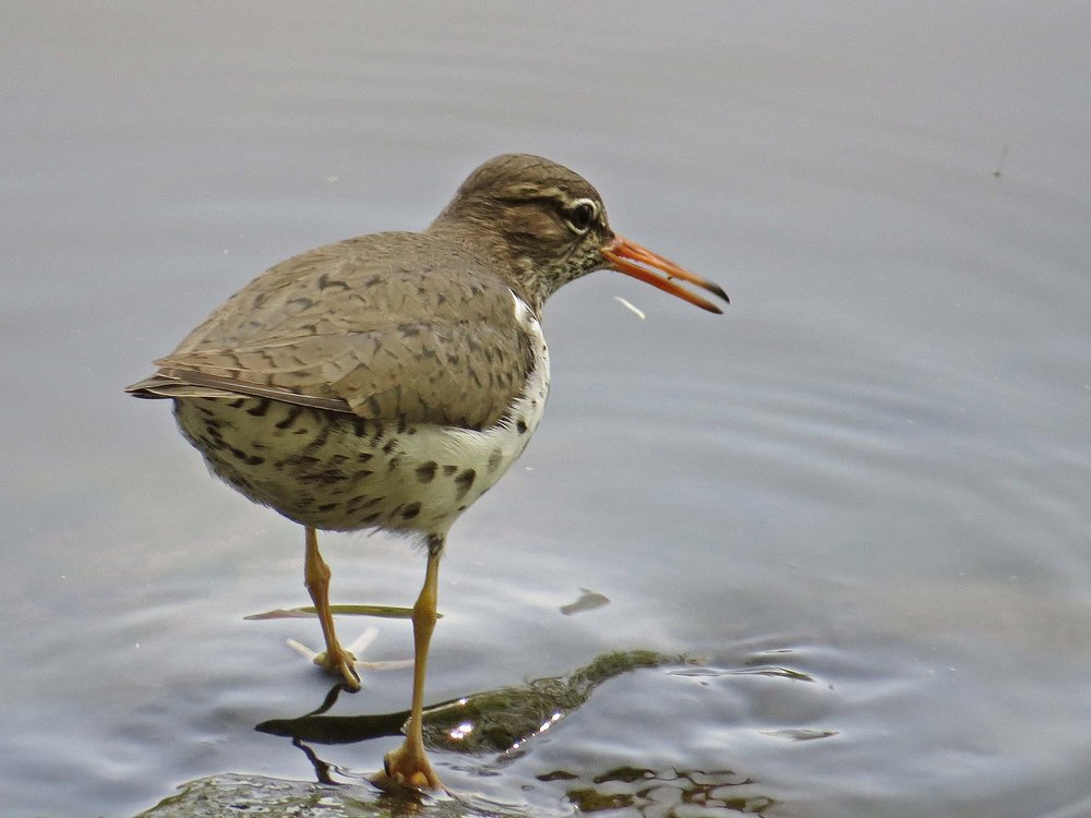 Spotted sandpiper on the shore of the Lake, Central Park, May 1, 2017