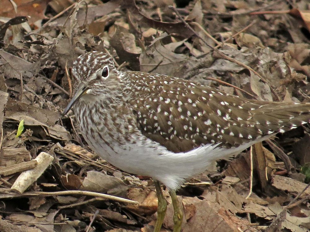 Solitary sandpiper, near the compost heap in northern Central Park, April 27, 2017