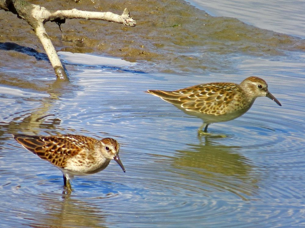 Least sandpipers, Muscota Marsh, Aug. 13, 2015
