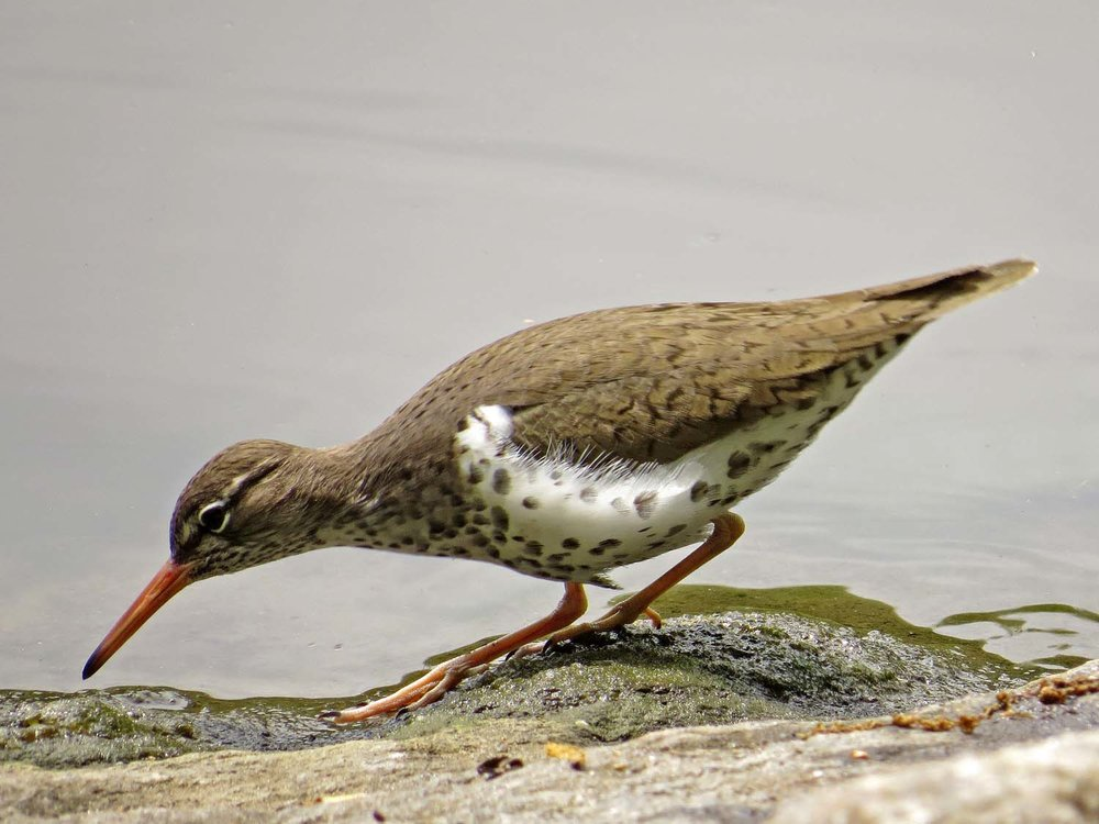 Spotted Sandpiper 1500 5-1-2017 044P.jpg