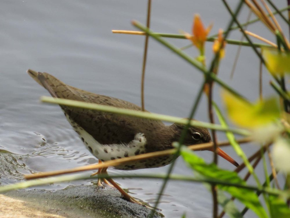 Spotted Sandpiper 1500 5-1-2017 070P.jpg
