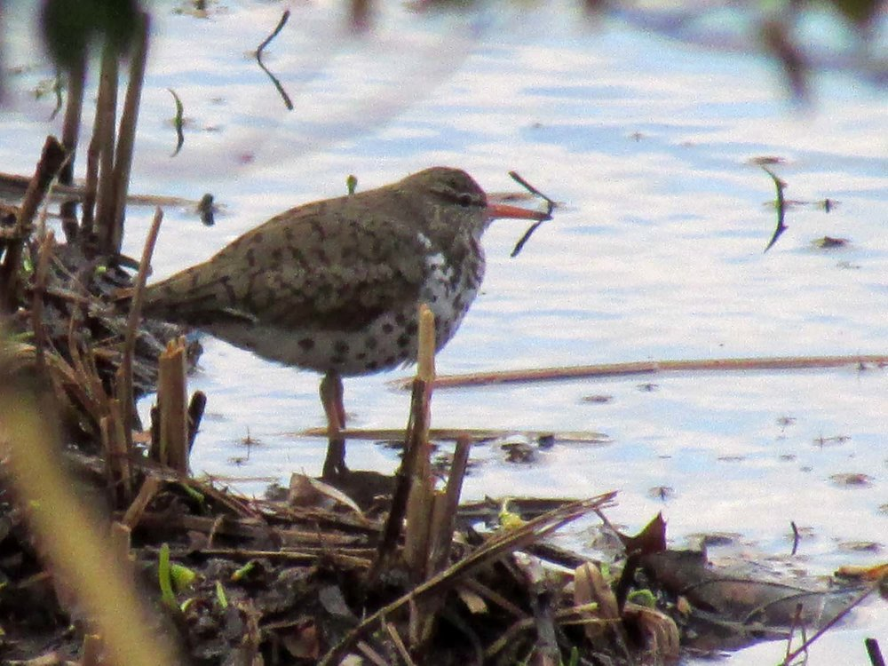 Spotted Sandpiper 1500 4-23-2014 415P.jpg