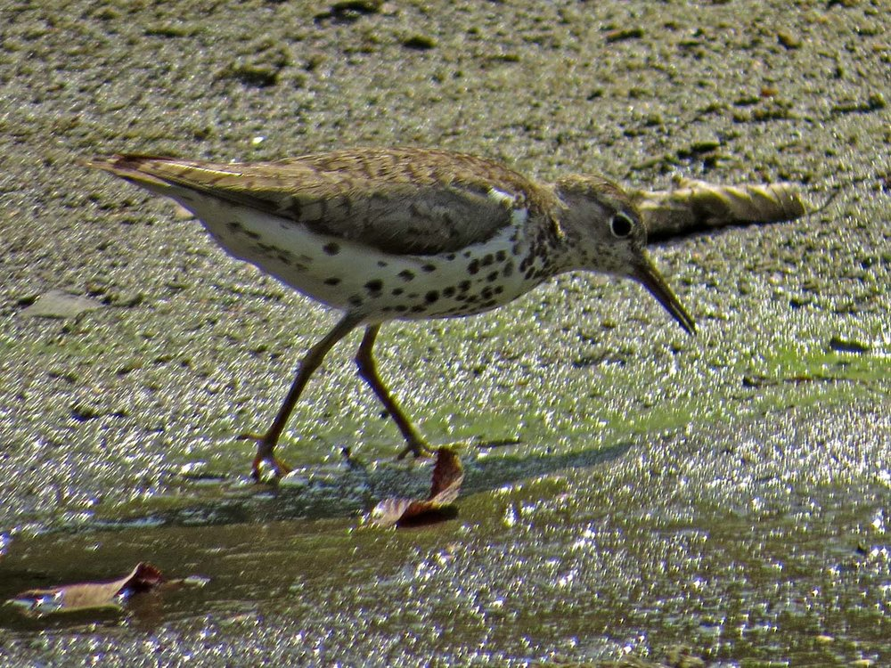 Spotted Sandpiper 1500 7-31-2014 053P.jpg