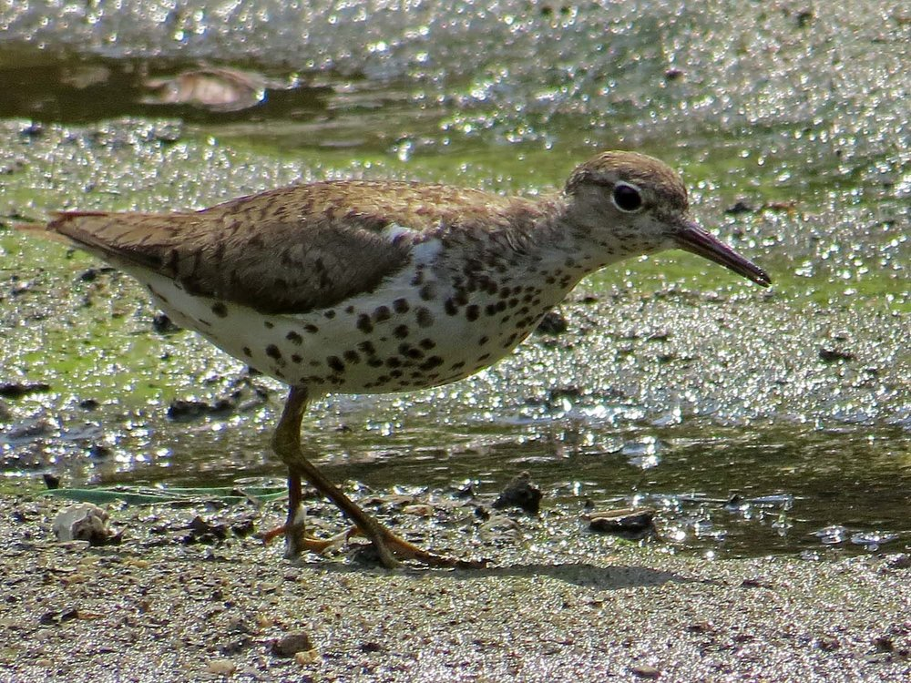 Spotted Sandpiper 1500 7-31-2014 055P.jpg