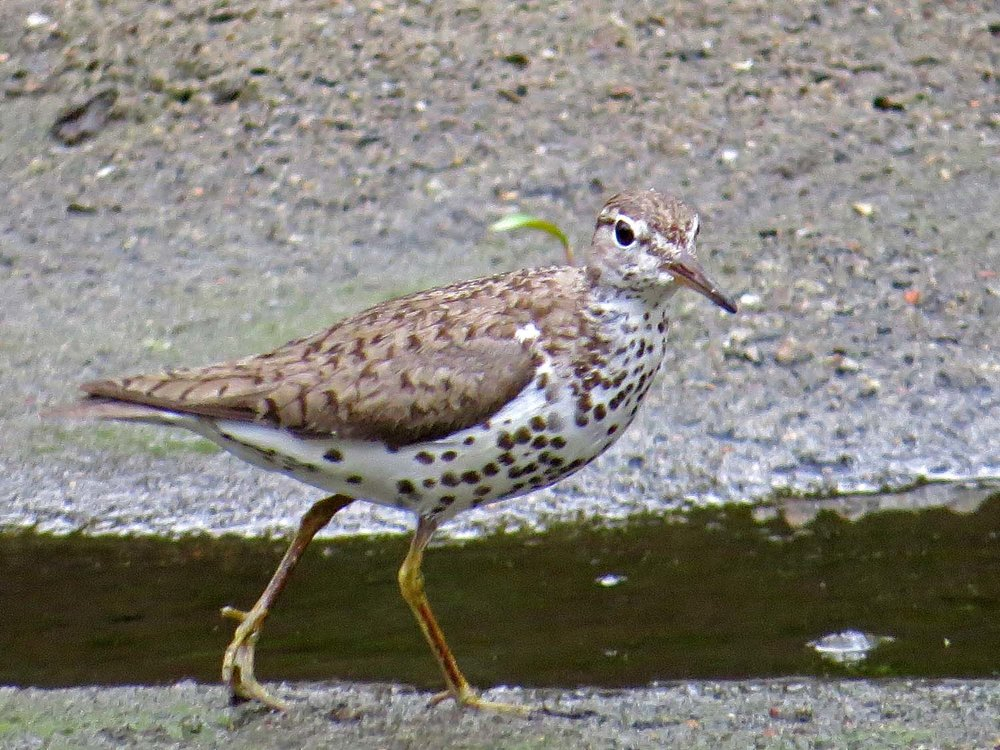 Spotted Sandpiper 1500 8-1-2014 330P.jpg