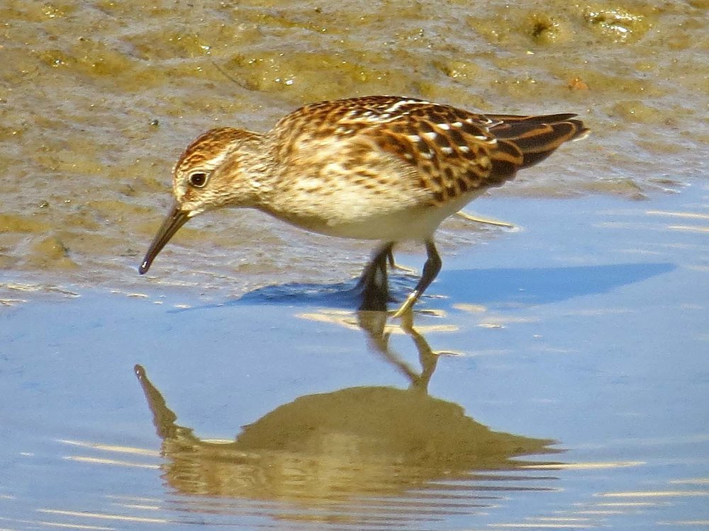 Least sandpipers 1500 8-13-2015 145PP.jpg