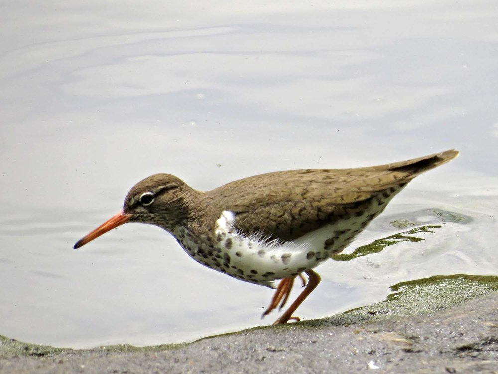 Spotted Sandpiper 1500 5-1-2017 041P.jpg