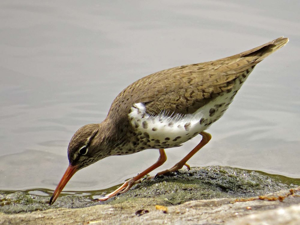 Spotted Sandpiper 1500 5-1-2017 043P.jpg