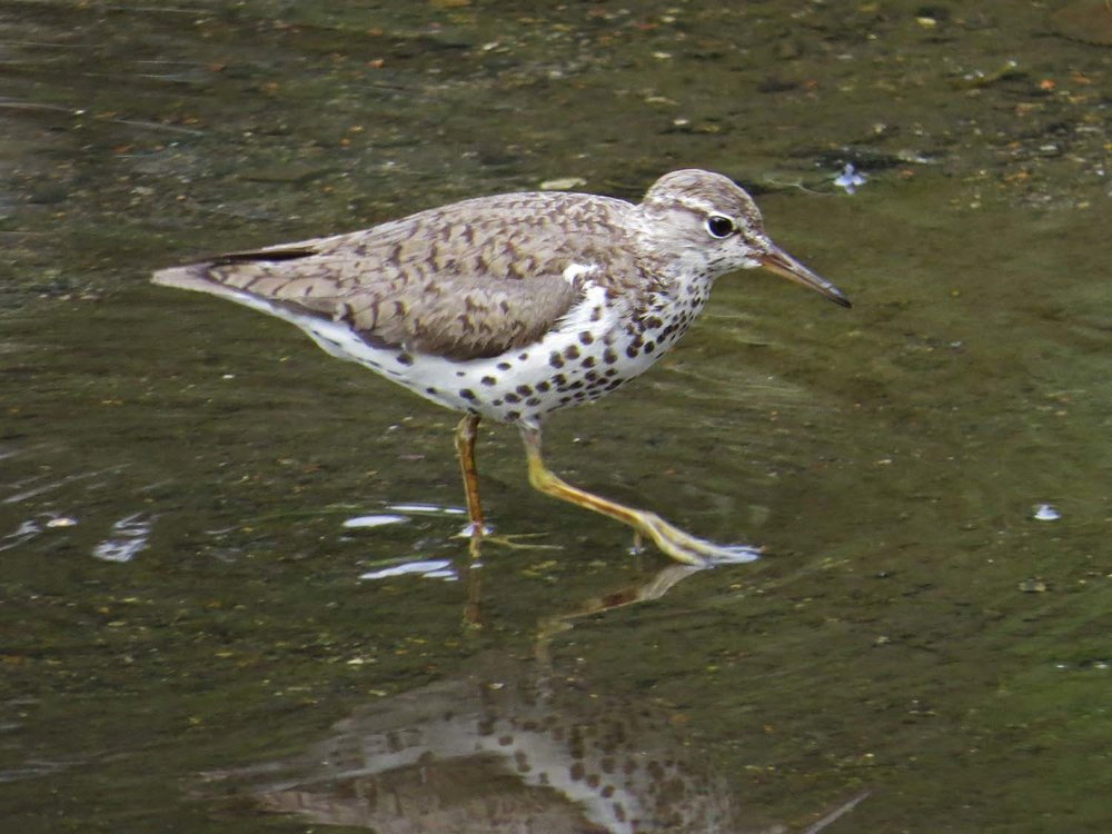 Spotted Sandpiper 1500 7-29-2014 780P.jpg