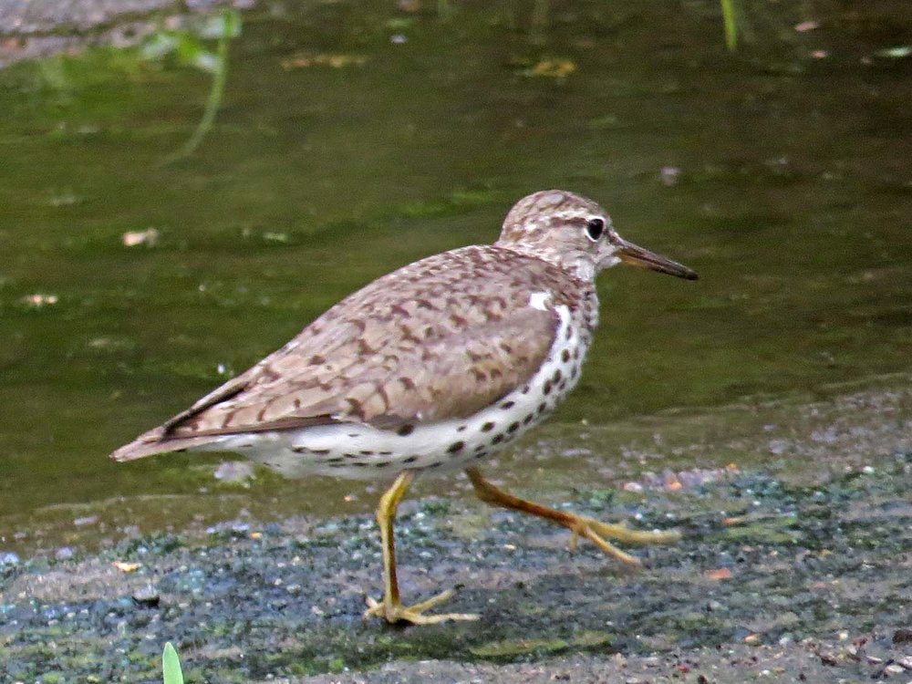 Spotted Sandpiper 1500 7-29-2014 784P.jpg