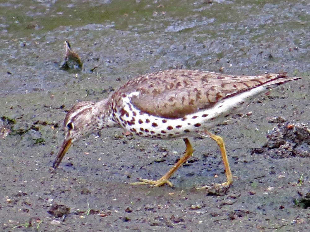 Spotted Sandpiper 1500 7-29-2014 790P.jpg