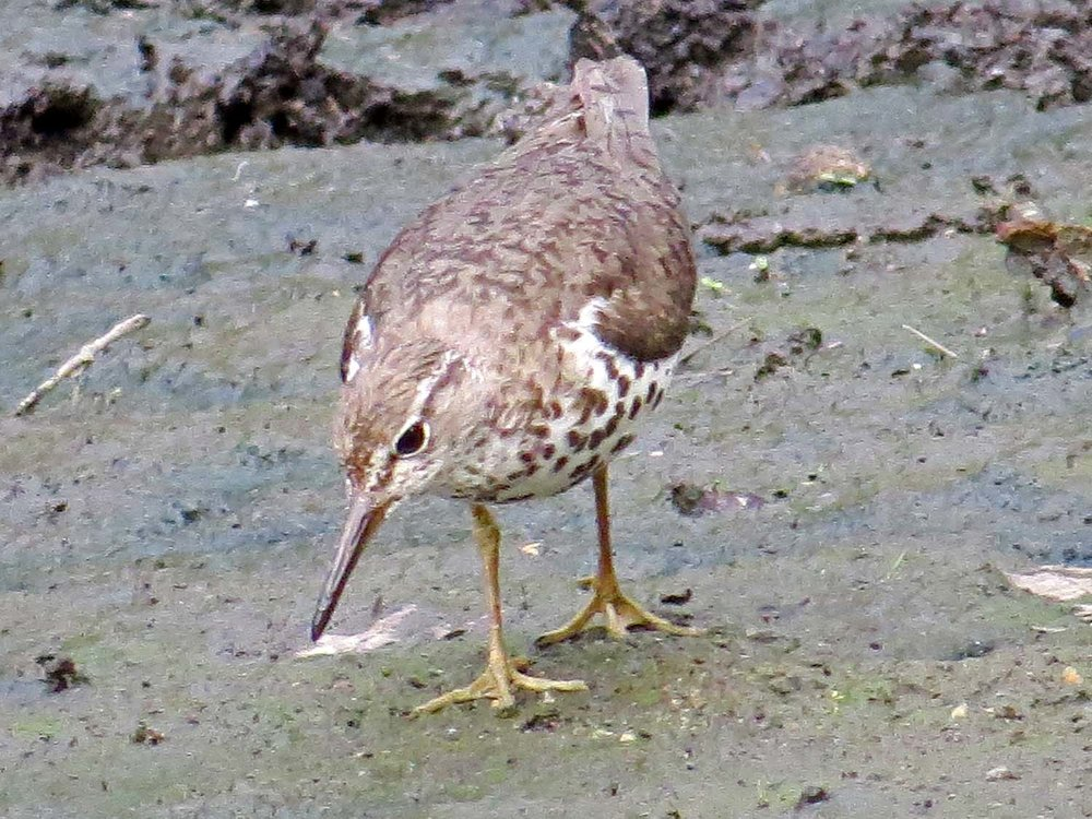 Spotted Sandpiper 1500 7-29-2014 793P.jpg
